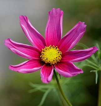 Flower, Pink, Pink Flowers, Nature, Floral, Plant
