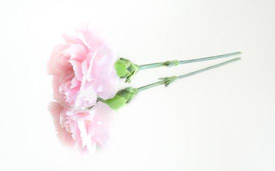 Pink, Flower, Reflection, Nature, Floral, Petal