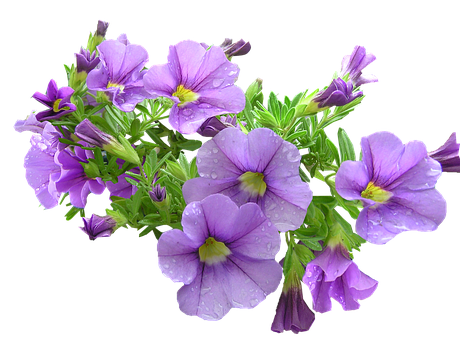 Pot Plant, Purple, Flowers