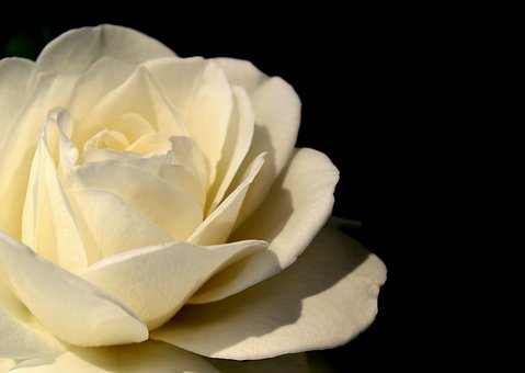Rose, White, Blossom, Bloom, White Roses, Flower