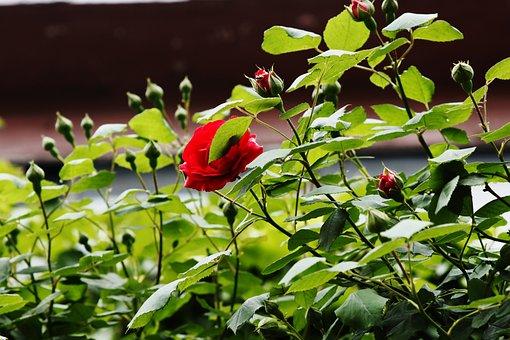 Rose, Flowers, Red, Beautiful, Summer, Street
