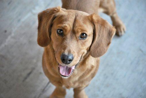 Dog, Brown, Smile, Standing Dog