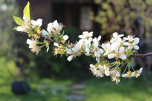 Cherry, Tree, Spring, Flowers, Nature, Flowering, Sprig
