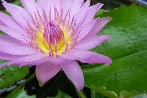 Flower, Water, Nature, Lily, Garden, Floral, Fresh