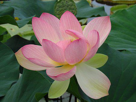 Water Lily, Blossom, Bloom, Flower, Pond