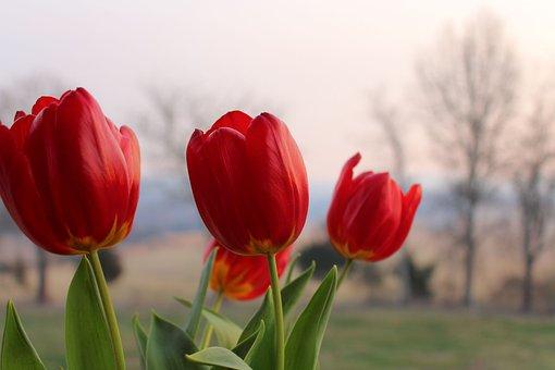 Red Tulips, Pink, Background, Trees, Wonderful, Flowers