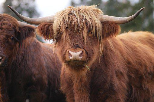 Shaggy, Beef, Highland Beef, Horns, Pasture