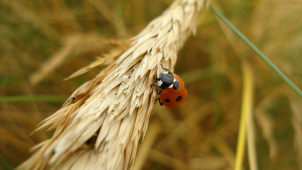 Ladybug, Insect, Close, Beetle, Nature, Luck