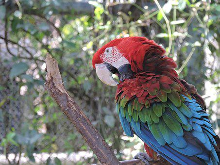 Parrot, Gucamaya, Colorful, Native, Ave, Color