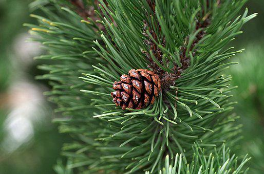 Pine, Pine Cone, Essential, Oil, Coniferous, Needles