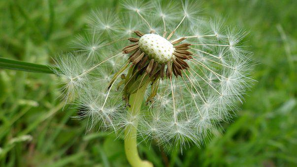 Macro, Nature, Dandelion, Close, Plant