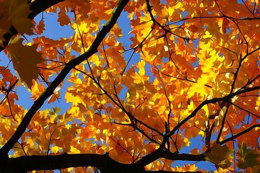 Fall Foliage, Gold Orange, Maple, Light, Autumn Fire