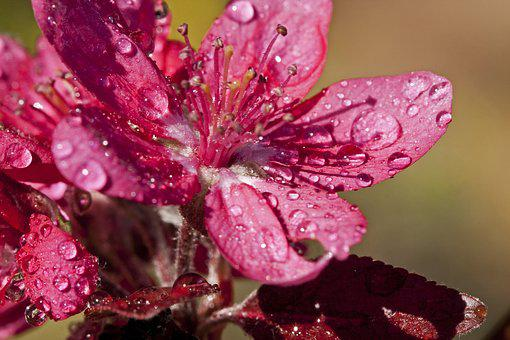 Crab Apple, Flower, Bloom, Blossom, Plant, Floral