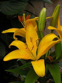 Lily Yellow, Flower, Garden