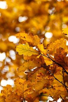 Yellow Sheet, Autumn, Oak, Oak Leaf, Listopad