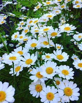 Flower, Summer, Nature, Flora, Garden, Chamomile