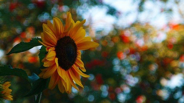 Sunflower, Sun, Flower, Yellow, Nature, Summer, Bright