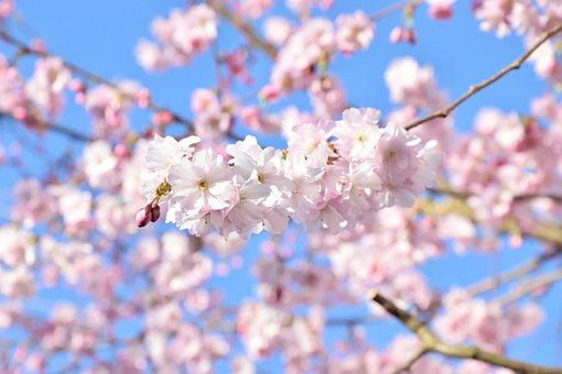 Cherry Blossom, Spring, Blossom, Bloom, Pink, Bloom
