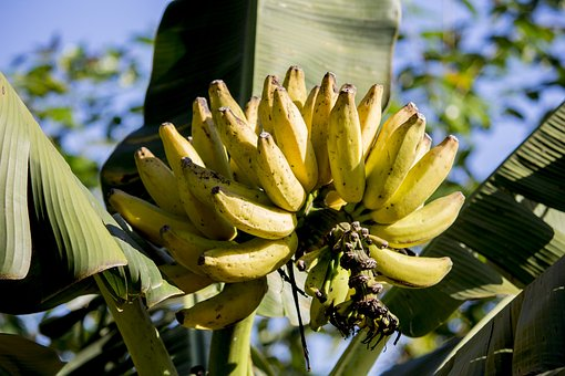 Banana, Banana Tree, Nutrition, Plants, Nature, Food
