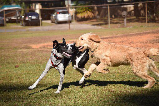 Dogs, Play, Animal, Dogs Playing, Playful, Puppy