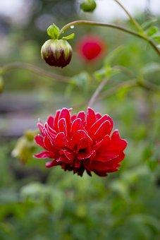 Leann, Flower, Dahlia, Bud, Nature, Red, Autumn, Garden