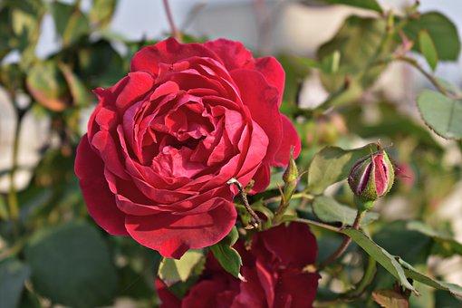 Red Rose, Rose, Flower, Rosa, Red, Blooming, Bloom