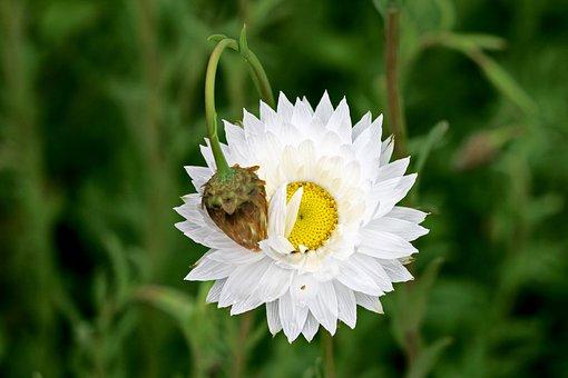 Paper Daisy, Bloom, Australian, Spring, White, Native