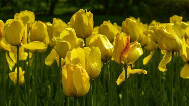 Flowers, Tulips, Yellow, Spring, Handsomely