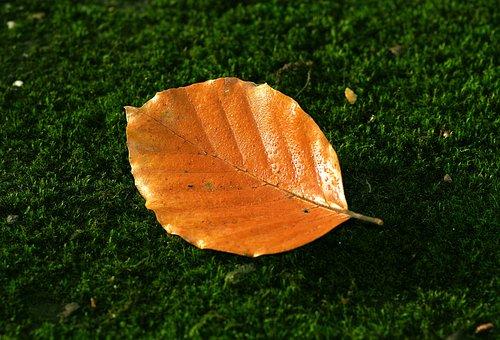 Leaf, Beech, Autumn, Red, Orange, Rosa, Drops, Wet