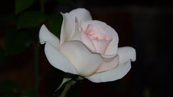 Rose, Floribunda, Ippenburg, Rose Blooms, White