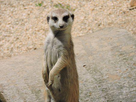 Meerkat, Animal, Animals, Animal World, Look, Alert