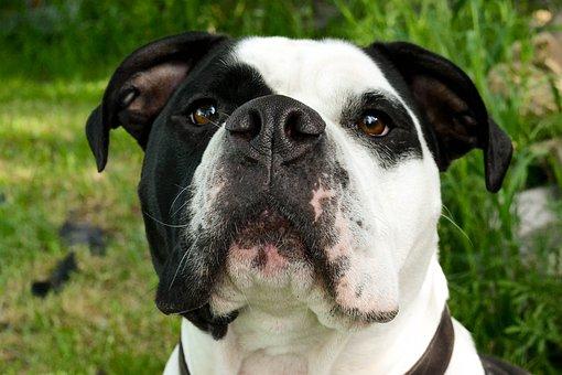 Bulldog, Dog, Animal, Funny, Purebred, Young, Doggy
