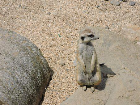 Surikato, Animal, Animals, Animal World, Fauna