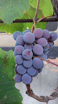 Grapes, Autumn, Galore