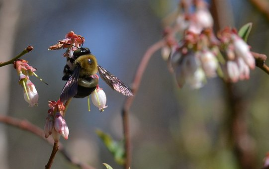 Bee, Blueberry, Pollinator, Spring, Fruit, Bumble Bee