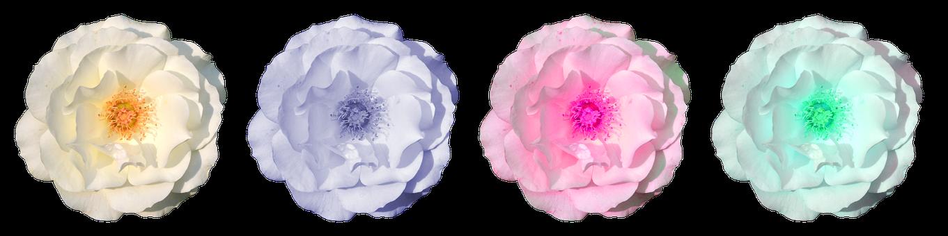 Rose, Blossom, Bloom, Flower, Rose Blooms, Close