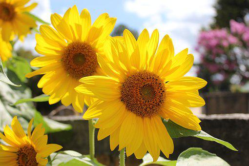 Sunflower, Flower, Yellow, Garden, Nature, Field