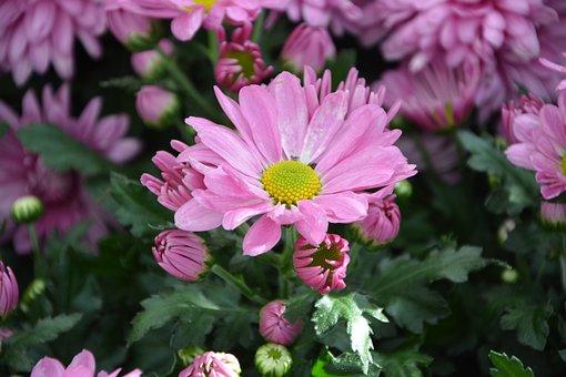 Flower, Buds Flowers, Pink Flowers, Petals, Nature