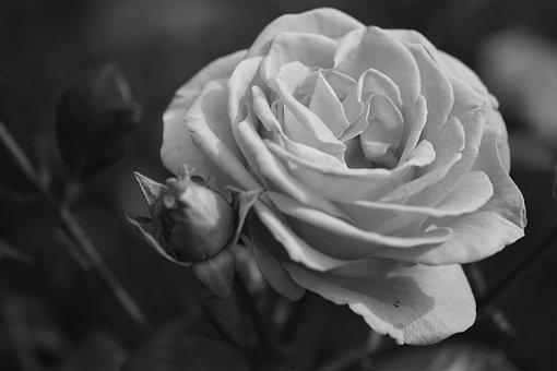 Rose, Flower, Bloom, Fragrance, Blossom, Bloom, Plant