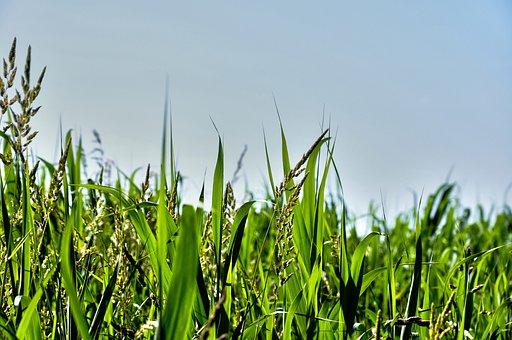 Grass, Blades, Grass Blades, Vegetation, Aquatic Plants