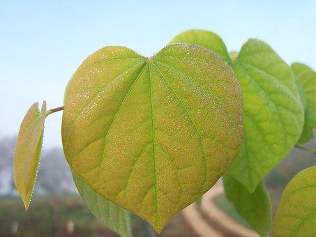 Leaf, Dew, Leaves, Red-bud, Tree, Pink, Green