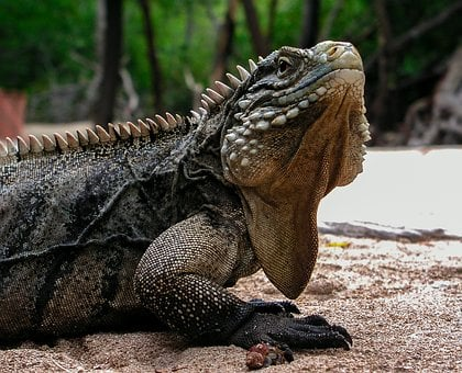 Iguana, Cuba, Travel, Animals, Lizard, Cayo Blanco