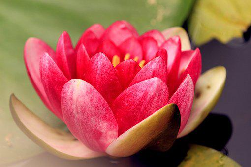 Lotus, Water Lily, Pond, Aquatic Plant, Garden, Nature