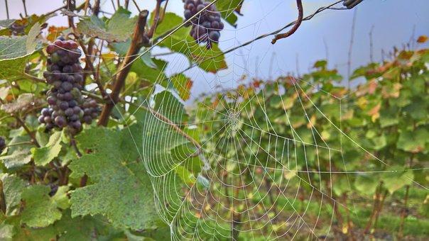 Red Wine, Ahr, Cobweb, Morgentau, Vine, Grapevine, Wine