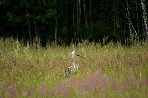 Stork, Nature, Meadow, Bird, White Stork, Village