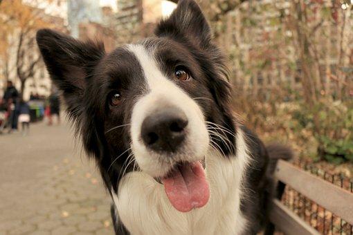 Dog, Puppy, Border Collie, Park, Park Bench, Bench