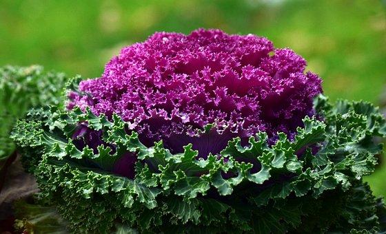 Kohl, Plant, Ornamental Cabbage, Beautiful, Purple