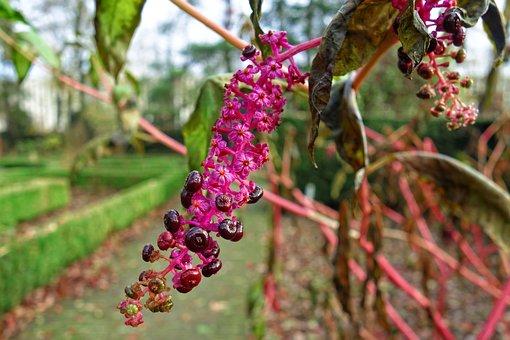 Pokeweed, Pokeberries, Phytolacca Americana, Plant