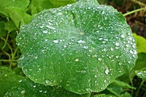 Petunia, Plant, Petunia Leaf, Water Drops, Rain Drops