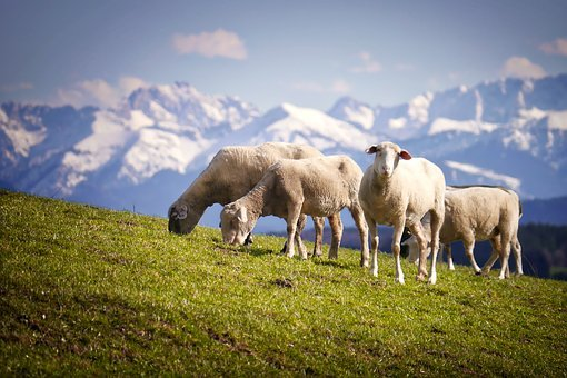 Sheep, Mountains, Pasture, Alm, Meadow, Wool, Nature